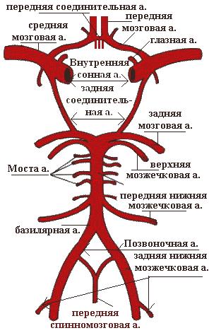 Средний мозг кровоснабжается