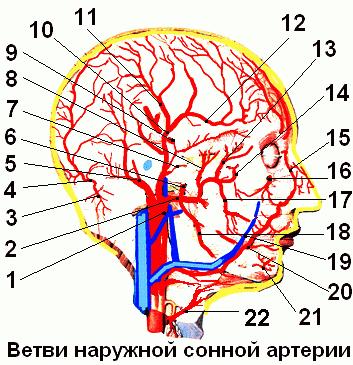 1 – наружная сонная артерия