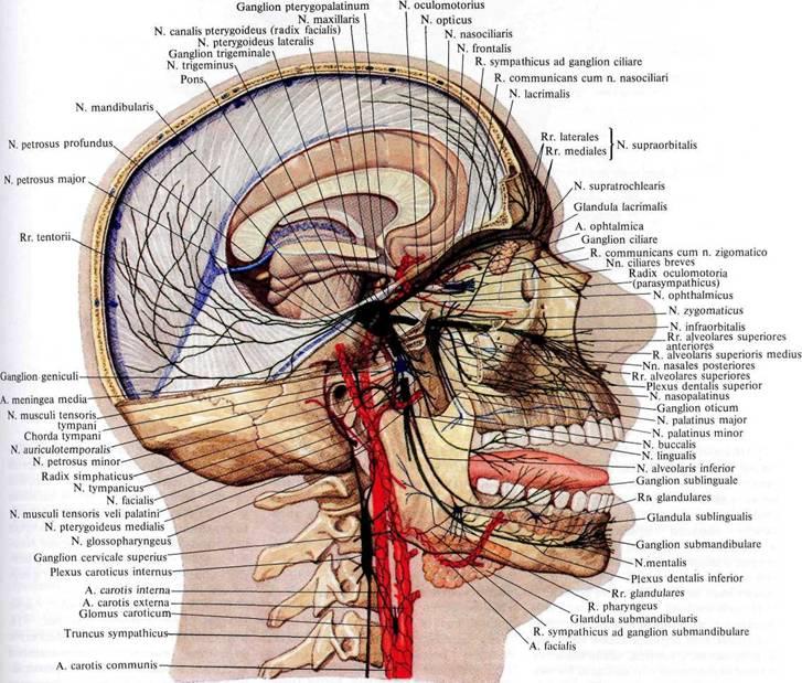 head_nerves.jpg