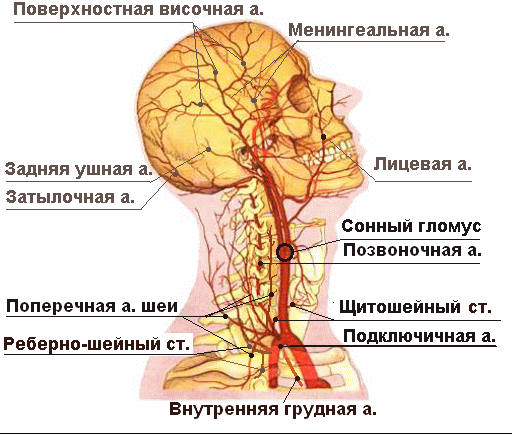 сонной артерии в голову.